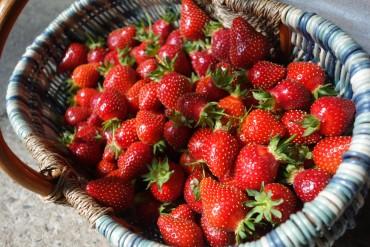 La cueillette de fraises est ouverte