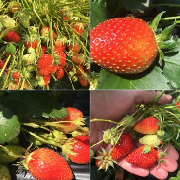 C'est parti pour la cueillette de fraises